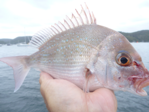 fishing bream pittwater