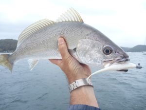 fishing whiting pittwater